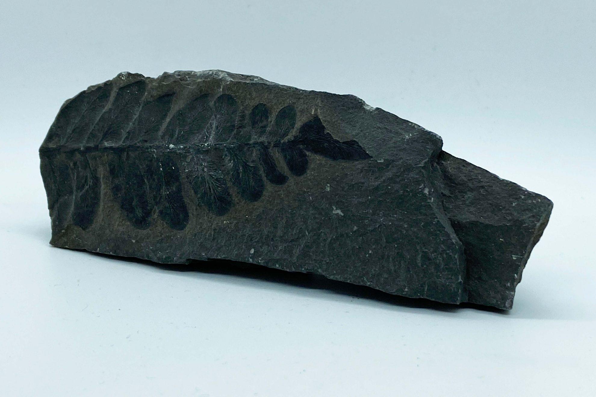 Steen met fossiel afdruk varen
